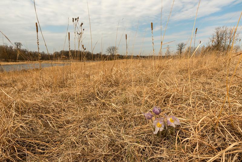 Pasque Flowers environmental