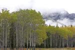 Aspens and Cloud I