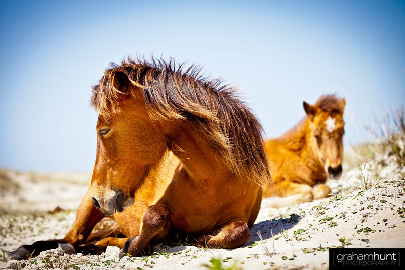 Shackleford Banks Ponies