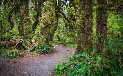 Hoh Rainforest Hall of Mosses Trail
