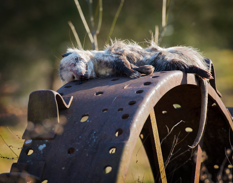 Dead Possum on top of an old tractor tire, maybe someones idea of a joke,  just can't see a possum dying there.