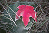Change of guard - frosted maple leaf in autumn in Quebec