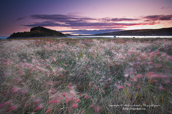 Wildflowers in chilly breeze at dawn in Parc National du Bic