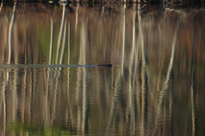 This little muskrat was busy ruining my reflection shots!