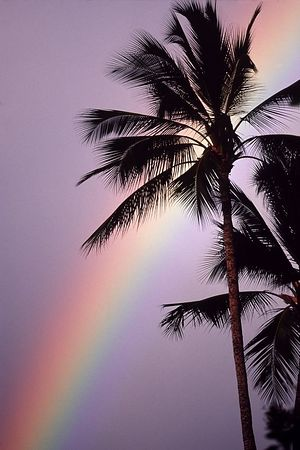 rainbow and palm tree, Lahaina, Maui, Hawaii<br /> ( Central Pacific Ocean<br /> 1