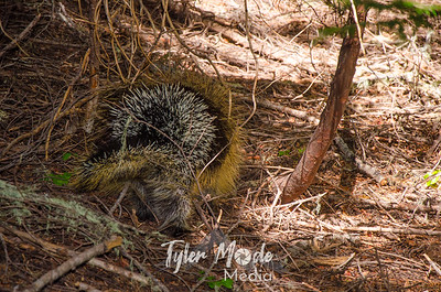 164  G Porcupine