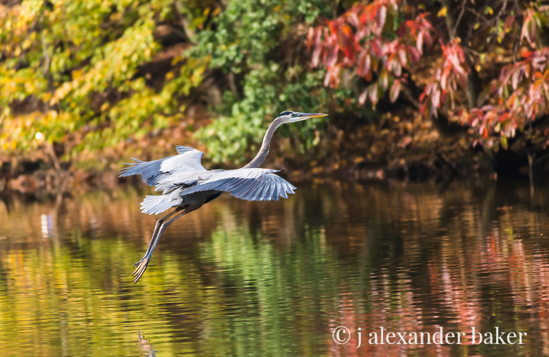 Great Blue Heron, Lake Tillery, NC