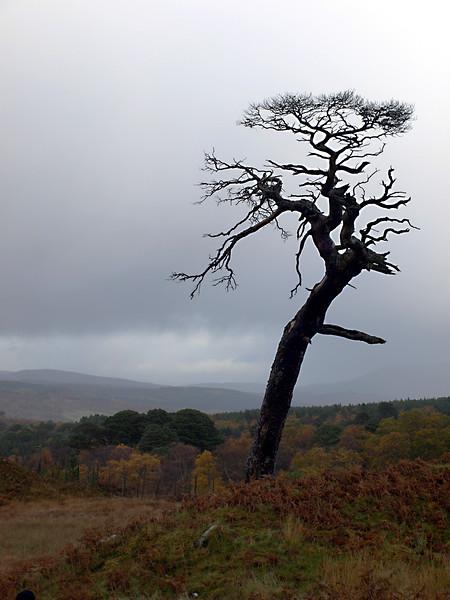 Tree, between Leagag and Crosscraig, 2008