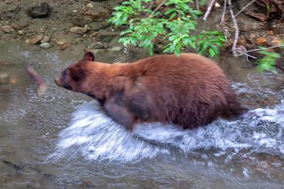 Mama bear fishing for salmon.
