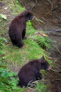 Bear Cubs watching Mama fish.