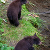 Bear Cubs watching Mama fish.