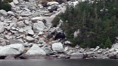 Moose at Emerald Lake