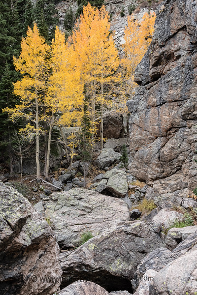 Vibrant Aspens on the Emerald Lake Trail, Rocky Mountain National Park.