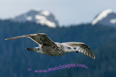 Seagull following ship for handout, Alaska Inside Passage.
