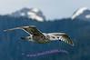 Seagull following ship for handout, Alaska Inside Passage.