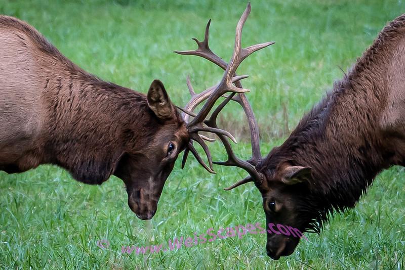 Elk Rut, Oconaluftee Visitor Center, Great Smokey Mountain National Park.