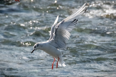 Seagulls over spawning salmon.