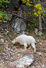 Mountain Goat in Spearfish Canyon