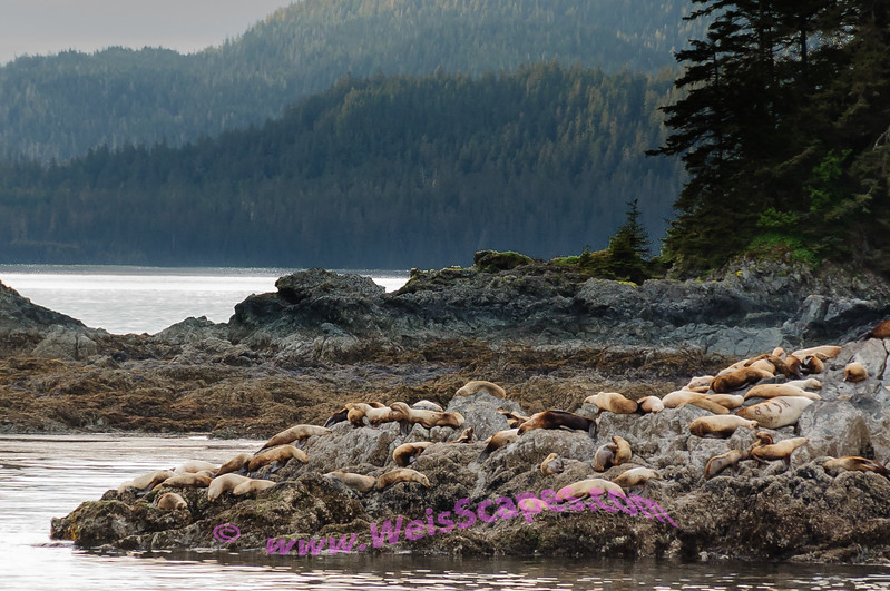 Sea Lions resting for the night, West Brother Island, Stephens Passage, Alaska.