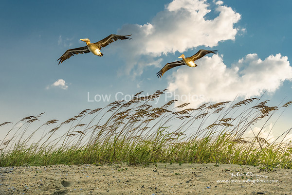 A few Pelicans fly over the dunes at Pawleys Island public beach.