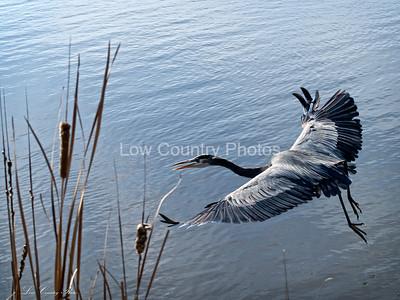 Blue Heron Taking Off
