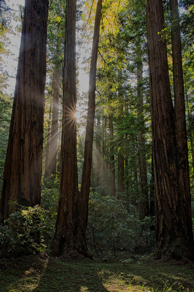 Sunbeams Through the Redwoods