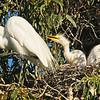 Mother Egret & Chicks