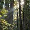 Sunbeams Through the Redwoods III