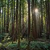 Sunbeams Through the Redwoods II