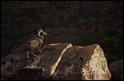 Sighting of an elusive Big Horn Sheep in the Spectrum Area of the Pine Creek Canyon in Red Rock National Park.
