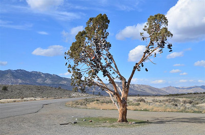 Shoe tree on 395 north of Reno