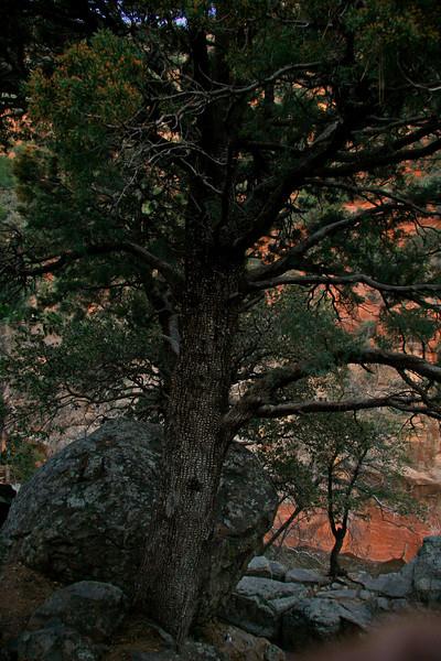 Alligator Pine tree