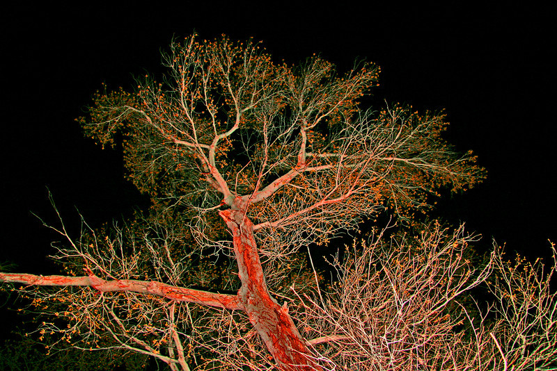 budding cottonwood at night with flash
