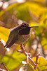 Anna's Humingbird 2