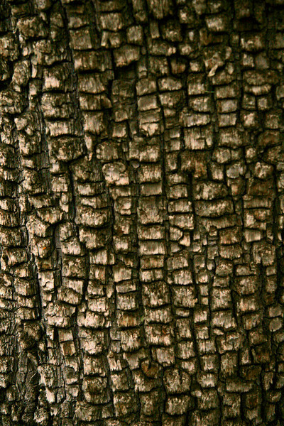 Bark on Alligator Pine tree