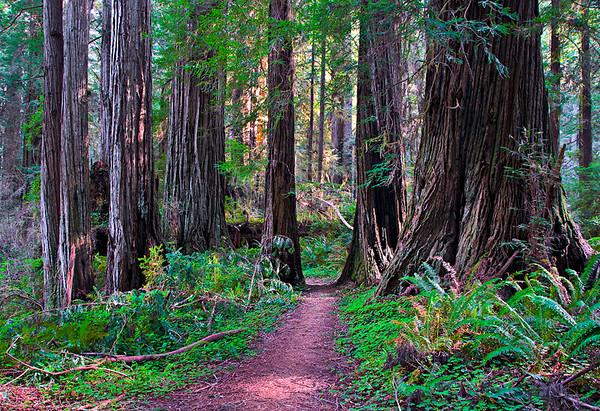Walk Amoung the Redwoods V2 web
