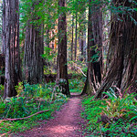 Walk Amoung the Redwoods V2 web