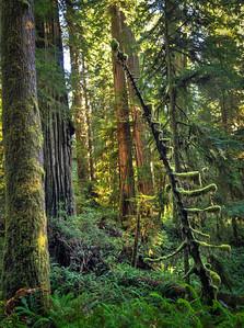 Redwood Wonder