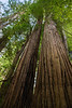 redwoods-tall trees-4022