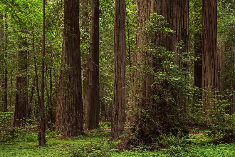 redwoods-humboldt redwoods-3866