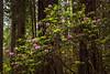 redwoods-lady bird johnson-4042