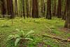 redwoods-humboldt-4596