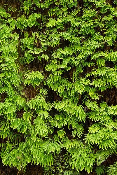 redwoods-fern cyn-4088