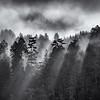 Foggy Godbeams in Redwoods