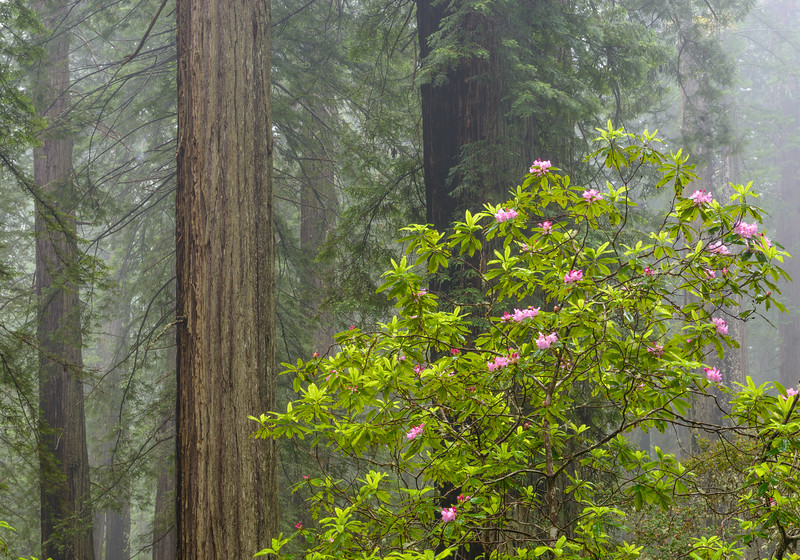 Rhododendron in bloom among the giant Redwoods on a foggy morn.