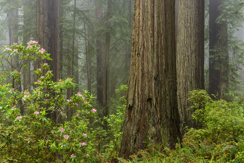 Rhododendron in a Redwood Forest with Fog