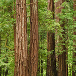 """Redwoods in Memorial Park""  - Memorial Park, San Mateo County near Pescadero and Butano State Park, California   4265"
