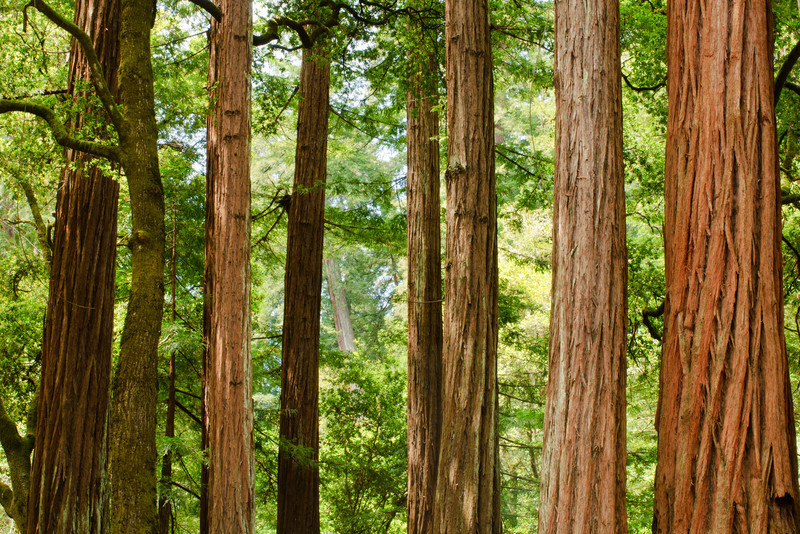 """Grove of Redwoods at Memorial Park""  Memorial Park, San Mateo County near Pescadero and Butano State Park, California"