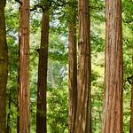 """Grove of Redwoods at Memorial Park""  Memorial Park, San Mateo County near Pescadero and Butano State Park, California"