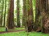 Rockefeller Grove, Humboldt Redwoods State Park
